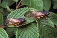 cicadas on leaf