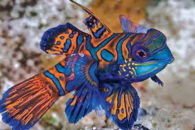 manderinefish