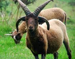 manx sheep